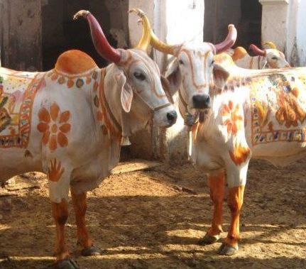 Govardhan Cows